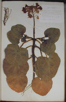LARGE FORMAT NINETEENTH CENTURY FRENCH HERBARIUM. by (ARNOULD, L.M.)