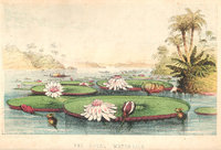 THE ROYAL WATER-LILY OF SOUTH AMERICA, by LAWSON, George.