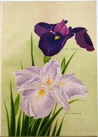 IRIS KAEMPFERI. by YOKOHAMA NURSERY CO., LTD. (YOKOHAMA UEKI KABUSHIKI KAISHA, corp. title).