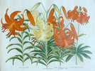 Another image of LILIES OF JAPAN. by (Trade catalogue - Lilies) YOKOHAMA NURSERY CO., LTD.