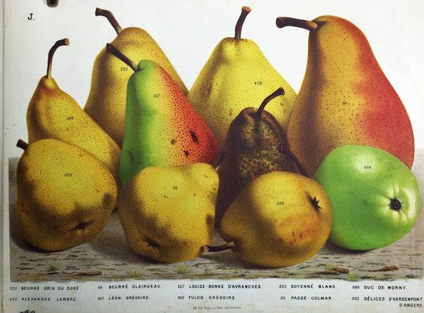 NOS POIRES by (Color plates - Pears) (HOUTTE, Louis Van, Établissement HORTICOLE.).